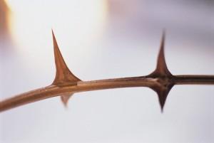 Thorns on Stem